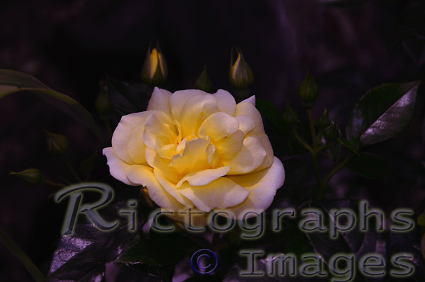 A Yellow Rose In the Garden